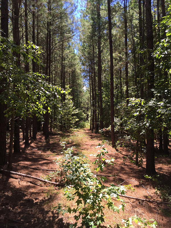 Long Cane Tract- Sold - Paden Land and Timber